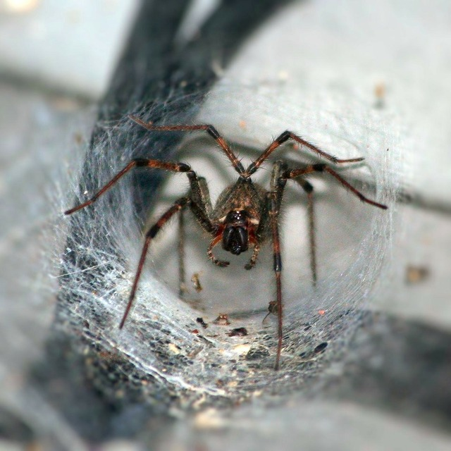 Funnel spider arachnophobia arthropod, animals.