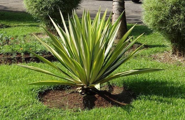 Furcraea foetida mediopicta furcraea gigantea striata agave, nature landscapes.