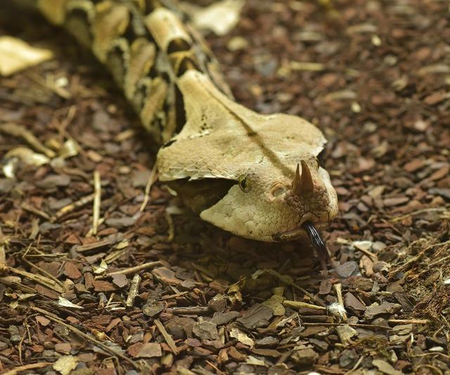 Gabon viper bitis gabonica snake.