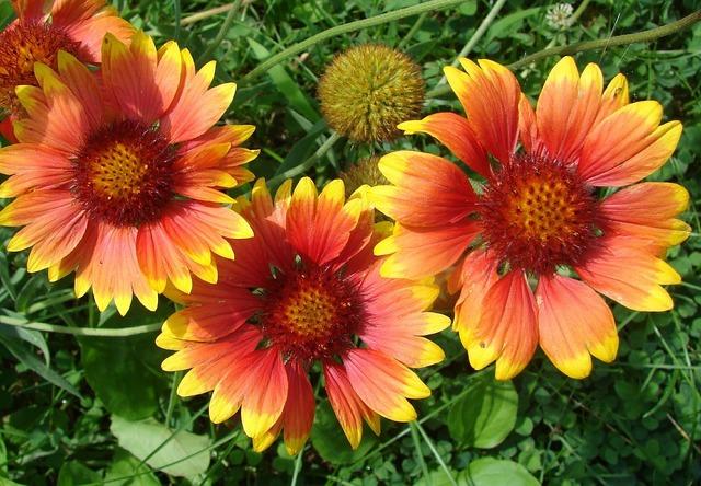Gaillardia blanket flowers.