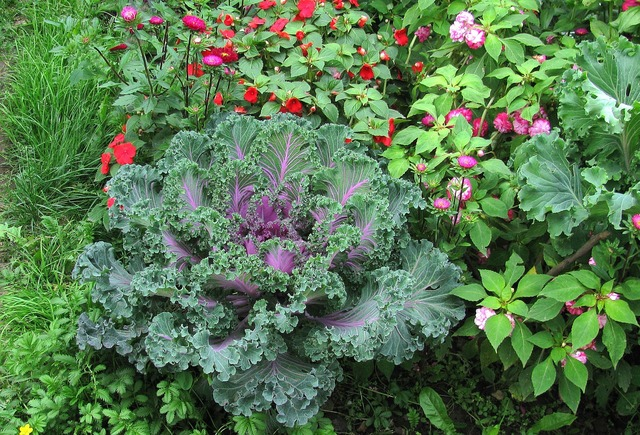 Garden cauliflower summer, nature landscapes.
