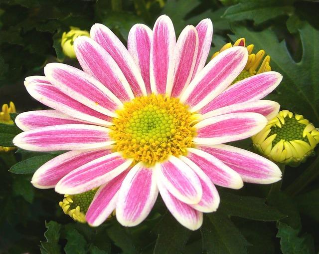 Garden chrysanthemum pot plant pink.