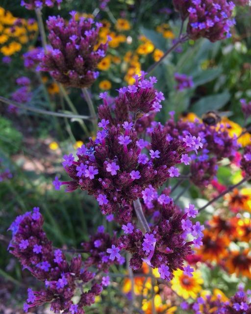 Garden purple flowers yellow flowers.