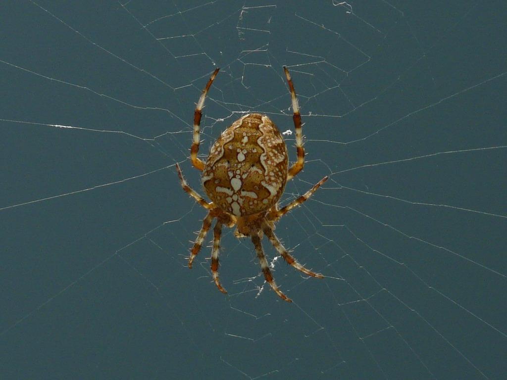 Garden spider spider araneus diadematus, animals.