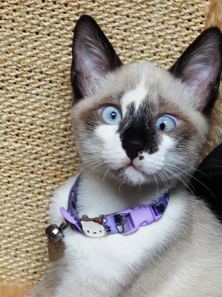 Gata cat kitten, animals.