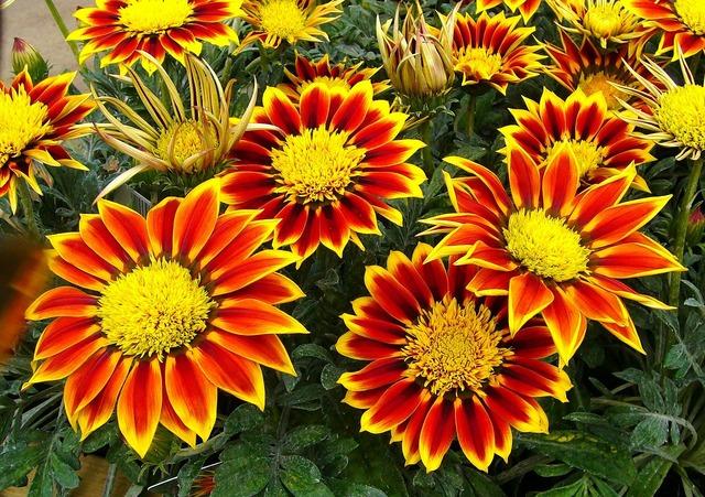 Gazanias garden plant floral.