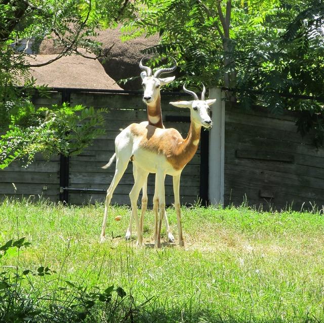 Gazelles antelopes wildlife, nature landscapes.