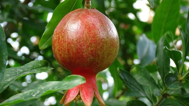 Georgia fruit pomegranate, food drink.