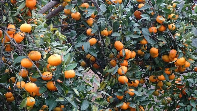 Georgia tangerine fruit, food drink.