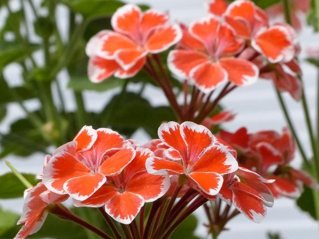 Geranium greenhouse flowers.
