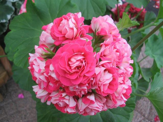 Geranium pink double.
