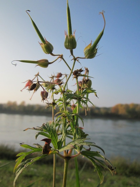 Geranium pratense meadow cranesbill flora, nature landscapes.