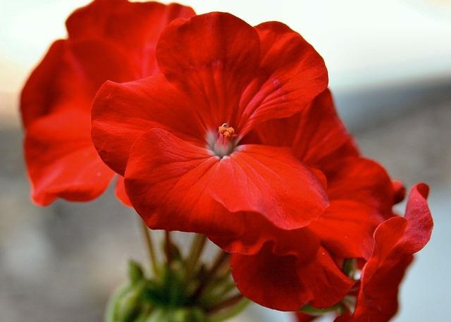 Geranium red geranium garden geranium.