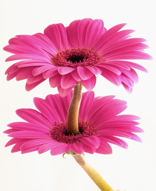 Gerbera flower flora, nature landscapes.