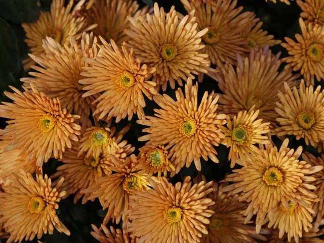 Gerbera flower yellow.