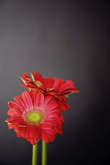 Gerbera flowers red, nature landscapes.