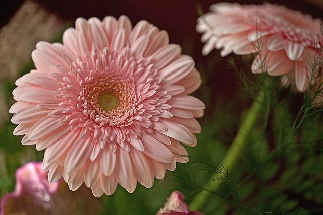 Gerberas flowers cut flowers.
