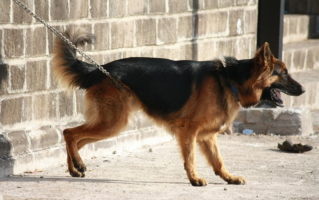 German shephard dog canine, animals.