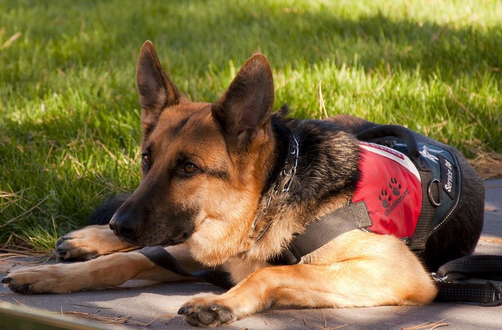 German shepherd dog canine, animals.