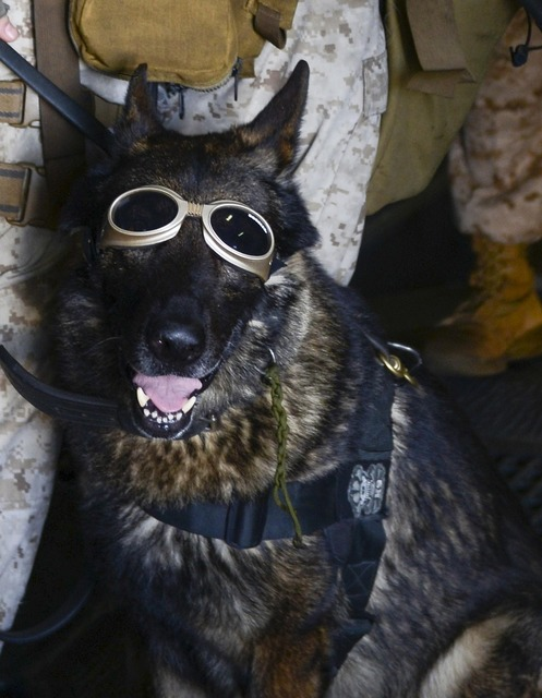German shepherd dog goggles, animals.