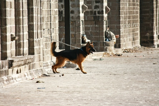 German shepherd dog guard, animals.