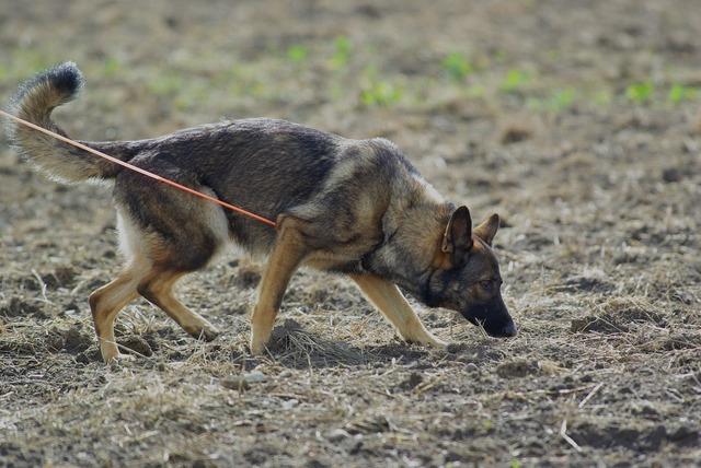 German shepherd dog tracking, animals.