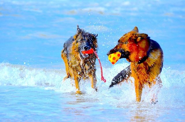 German shepherd dogs play, travel vacation.