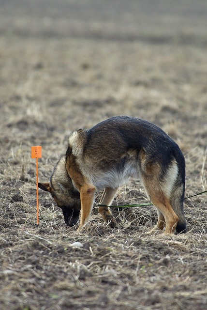German shepherd tracking competition, animals.