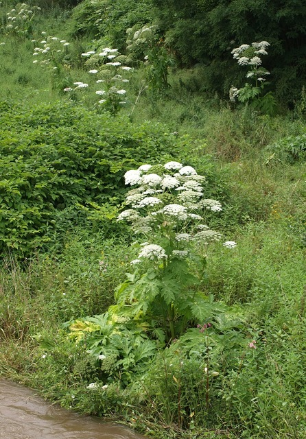 Giant hogweed hogweed plant, nature landscapes.