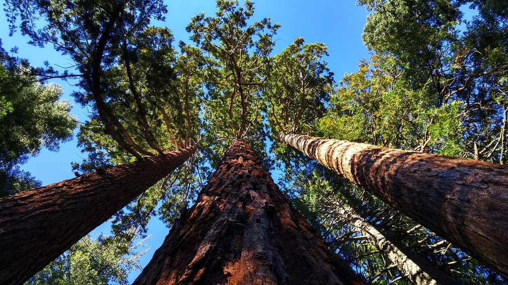 Giant sequoia grove near auburn california trees, nature landscapes.