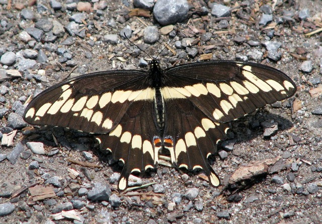 Giant swallowtail papilio cresphontes largest na butterfly.