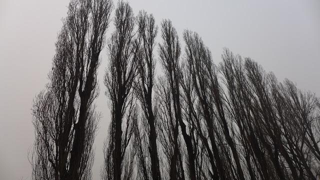 Giant trees upward grey skies.