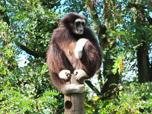 Gibbon gibbon white hands ape.