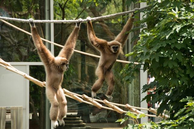 Gibbon monkey white, animals.