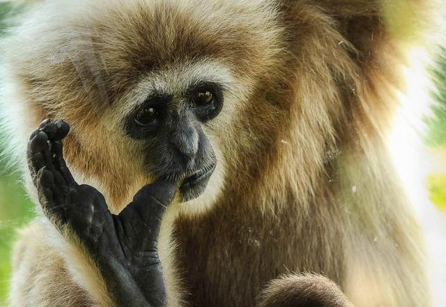 Gibbon primate ape, animals.