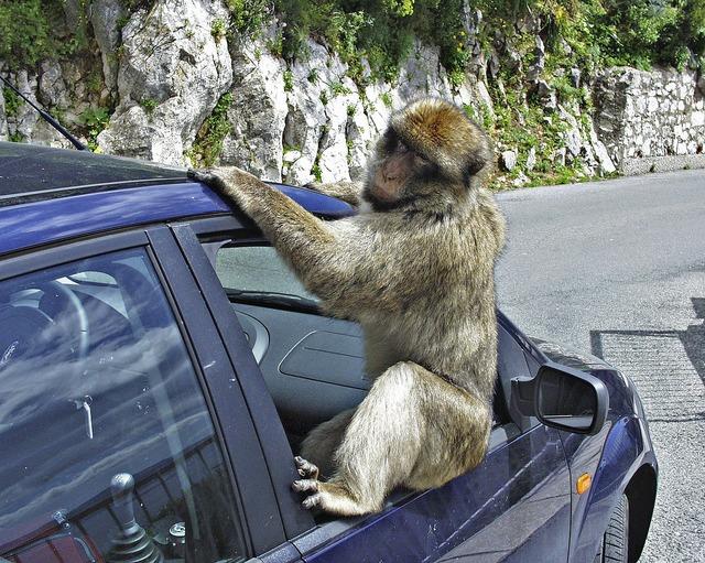 Gibraltar baboon monkey, animals.