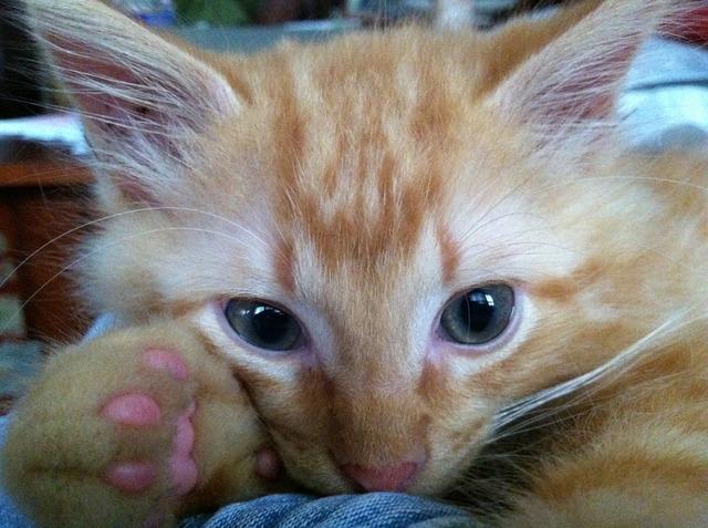 Ginger cat blue eyes, animals.