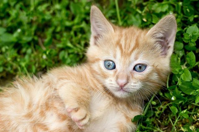 Ginger kitten red kitten tabby kitten, animals.