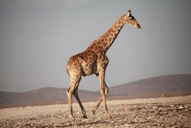 Giraffe africa safari.
