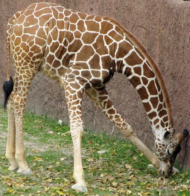 Giraffe eating animals, food drink.