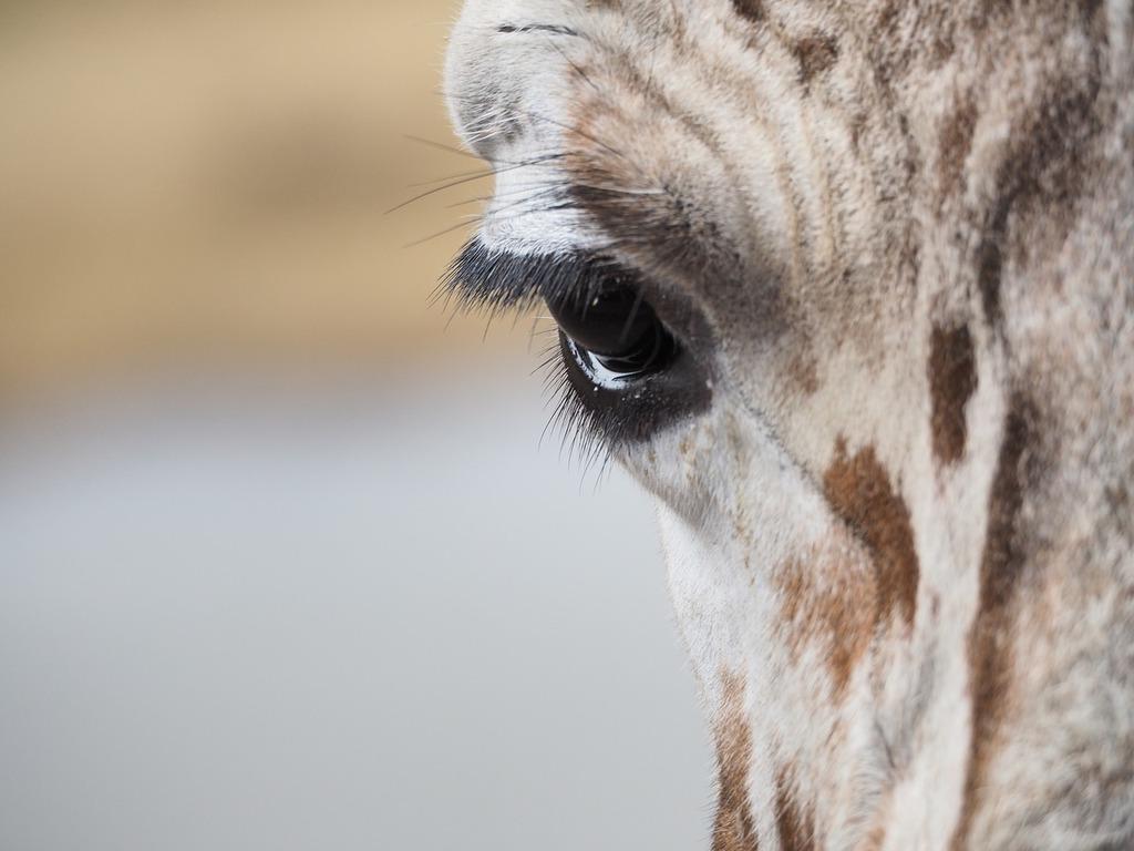 Giraffe eye eyelashes.