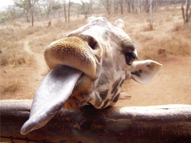 Giraffe long tongue eating, food drink.
