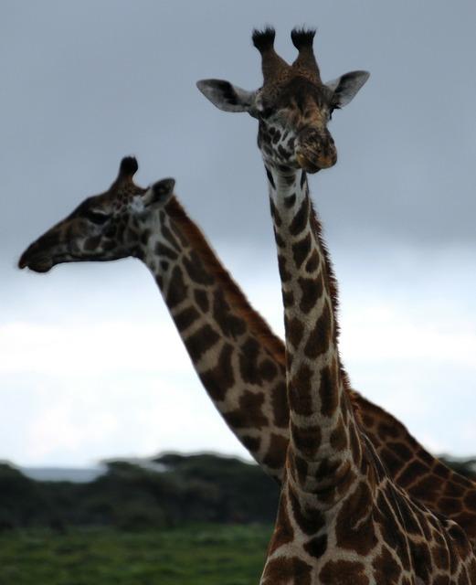 Giraffe pair animals, backgrounds textures.