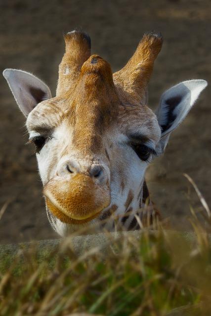 Giraffe zoo good morning, animals.