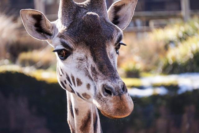 Giraffe zoo netherlands, animals.