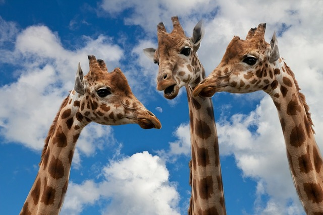 Giraffes entertainment discussion, computer communication.