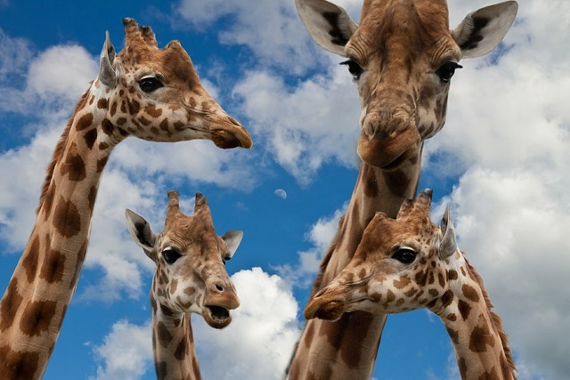 Giraffes family education, people.