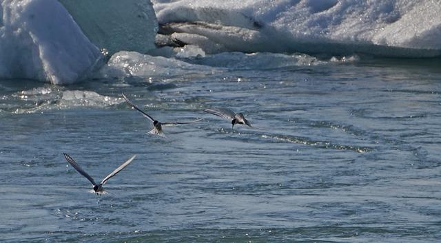 Glacial lake birds hunt.