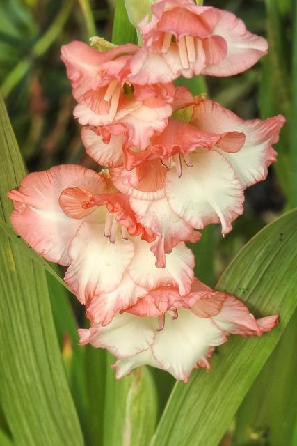Gladiolus flowers bloom.