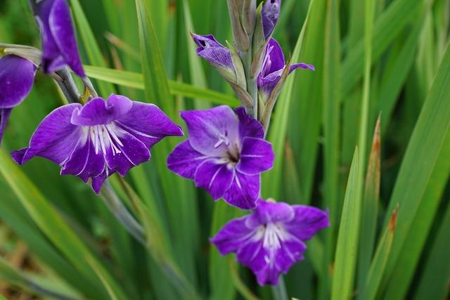 Gladiolus flowers purple.